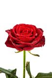Red rose. signs of love Stock Images