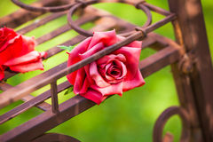 Red rose. Red silk rose Royalty Free Stock Photo