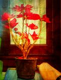 The only red rose. A single flower in front of the window, a red color that resembles love Stock Photo