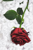 Red rose. Royalty Free Stock Photo