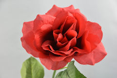 Red rose. A single rose taken at 125th at f11 Stock Images