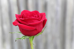 Red rose. Single vibrant full bloom red rose against a wood background Stock Photo