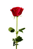 Red Rose. Single red rose on white background Stock Photos