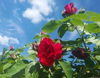 Red rose in the sky. In the photo there is a couple of groves and a belly button on the background of a clean sky stock image