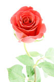 Red rose with small water droplets Stock Photo