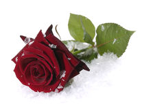 Red rose on the snow Stock Photo