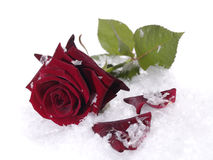 Red rose on the snow Stock Image