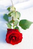 Red rose on snow. Royalty Free Stock Image