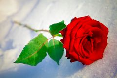 Red rose on snow. Stock Photography