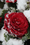 Red rose in the snow Stock Images