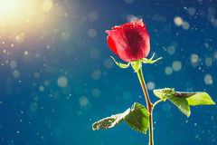 Red rose on snow background Royalty Free Stock Images