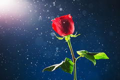 Red rose on snow background Royalty Free Stock Photo