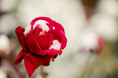 Red rose in snow closeup. Selective focus. stock photo