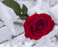 Red Rose in Snow Stock Image