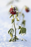 Red rose in snow Royalty Free Stock Photos