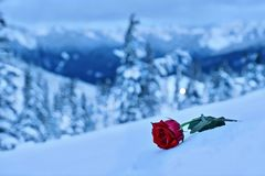 Red rose in snow. In a memory of the loved one. Symbol of sadness and grief.  Mountains after a heavy  snowfall. Mount Hood. Portland. Oregon. United States Stock Photography