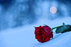 Red rose in snow. In a memory of the loved ones. Symbol of sadness and grief.   Mount Hood. Portland. Oregon. United States Stock Image
