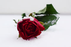 Red rose in snow. Perfect rose in the snow stock photography