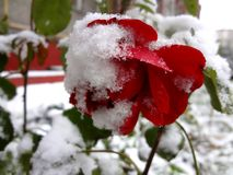 Red rose and snow Stock Photos