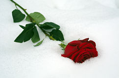 Red rose in snow Stock Photos