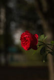 Red Rose. With a soft background Royalty Free Stock Photo