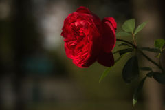 Red Rose. With a soft background Stock Photo
