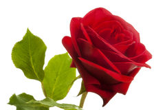 Red rose, soft focus Stock Image