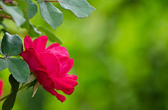 Red rose on soft green background Royalty Free Stock Photography