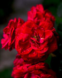 Red rose with some water drops on it, valentines day. Red rose in the morning with some water drops on it Stock Photo