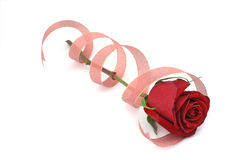 Red rose in spiral ribbon. White background royalty free stock image