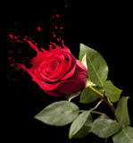 Red rose splashes Royalty Free Stock Photography