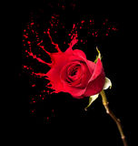 Red rose splashes Stock Image