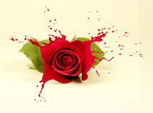 Red rose splashes Royalty Free Stock Photos