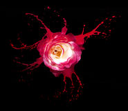 Red rose splashes Royalty Free Stock Image