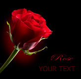 Red Rose. St. Valentine's Day Royalty Free Stock Image