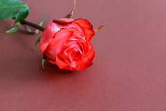 Red Rose with Stalk and Leaves on brown Background Stock Photo