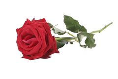Red rose with stem isolated on white Royalty Free Stock Photos