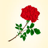 Red rose stem vector. Red rose stem with leaves and blossoms vector illustration Royalty Free Stock Photo