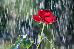 Red Rose in the summer rain Stock Photo