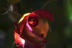Red Rose in the sunlight Stock Image