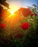 Red rose. Sunrise is beautiful Stock Images