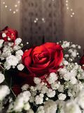 A Red Rose royalty free stock photo