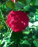 Red Rose. Red Rose on surrounded leafs or Rosebush stock illustration