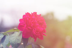 Red rose in sweet tone Stock Image