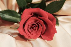 Red rose, symbol of appreciation. The beautiful red rose, symbol of love and appreciation, is more interestig for its circular petals which give the impression Stock Image