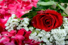Red rose and white flowers on scattered rose petals. Red rose a symbol of Love and Celebrations. a common flower universally which attracts everyone Stock Photos