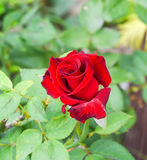 Red of rose, symbol  of love. Royalty Free Stock Photography