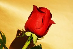Red rose, symbol of respect Stock Photo