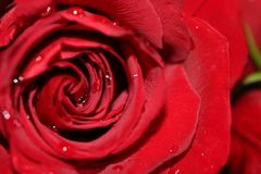 Red rose texture Royalty Free Stock Image