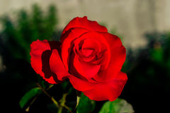 Red rose. 14th February gift Stock Photos